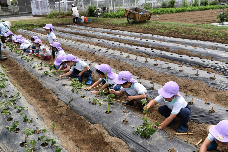 お芋の苗植え 年中組